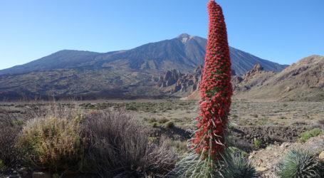 2016.05.05 - El Teide - Las Canadas - Tajinaste