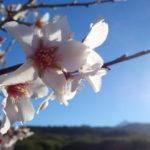2017.01.29 - Erjos (Tenerife) - Almond flower