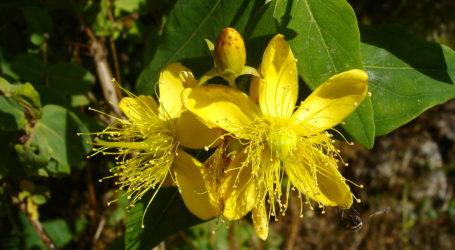 Healthy Beauty - Bee on St John's Wort